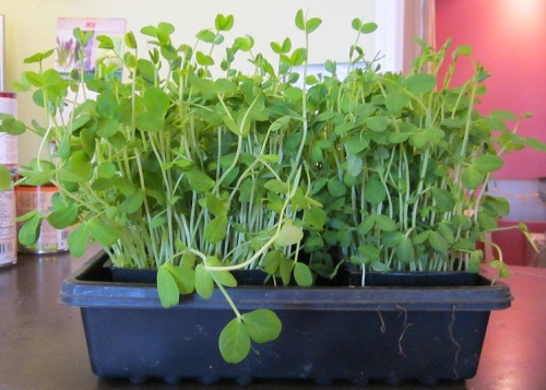 Pea-sprouts-cropped